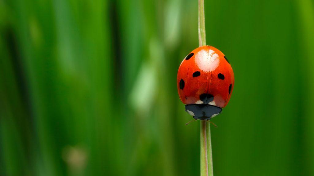 Lady Bug Infestation