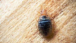 Single Bed Bug